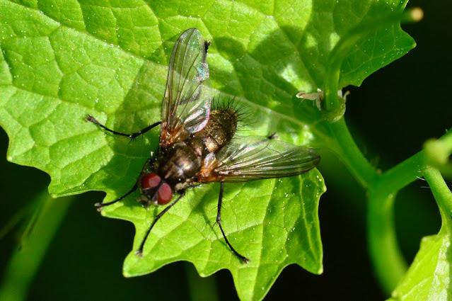 Macquartia sp