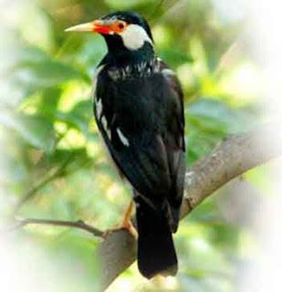 Burung Jalak Suren Jantan