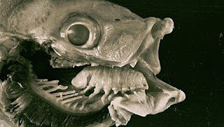 An infected fish's tongue was replaced by the tongue-eating louse.