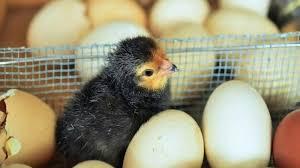 Cara Menetaskan Telur Ayam Arab Dengan Mesin Penetas Telur Untuk Memulai Usaha