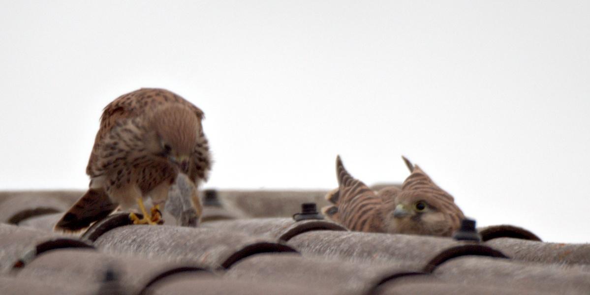 Kleine Fotoserie: Ein Jungfalke lernt das selbstständige Fressen (7)