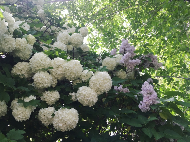 Snowball and Lilac trees in bloom // Zone 6 & 7 Garden Tasks for May // www.thejoyblog.net
