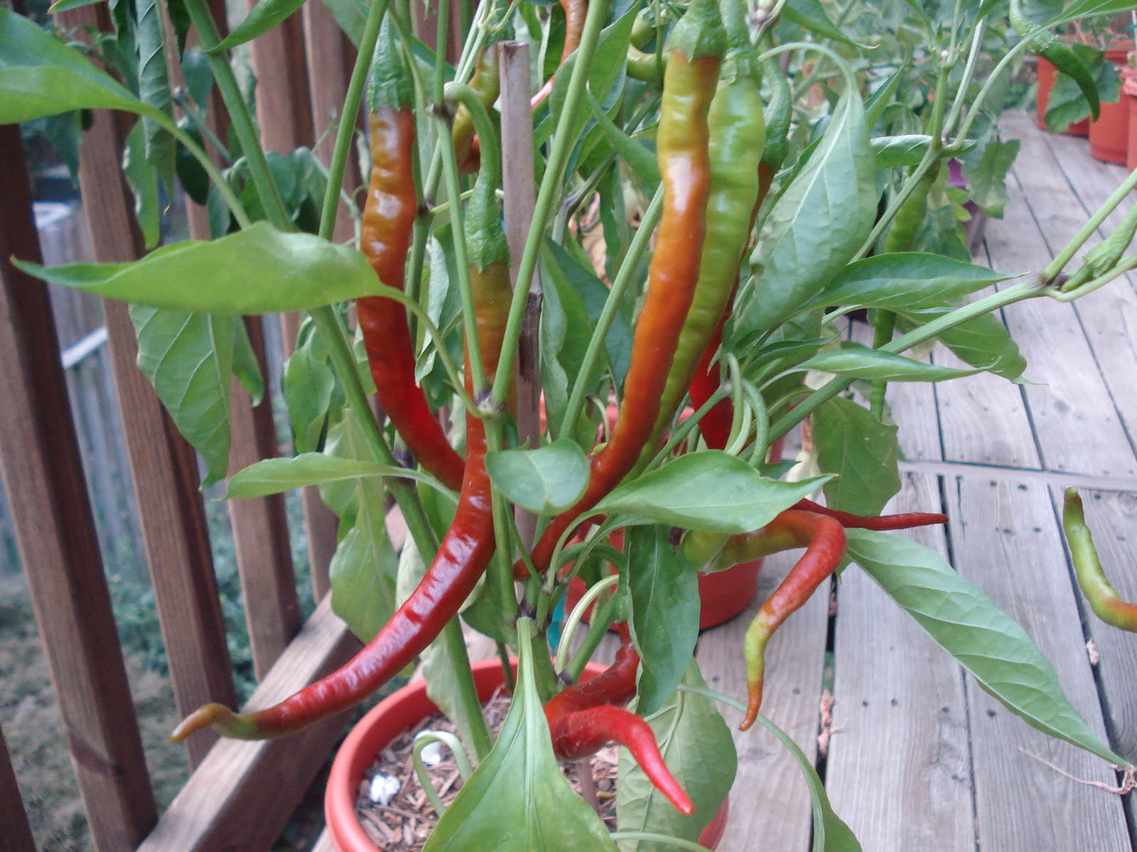 Growing Peppers In Your Vegetable Garden: Bumble Lush Garden: July 2011
