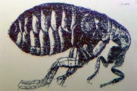 FLEAS, LICE, TICKS AND MITES | VECTOR AND PEST MANAGEMENT