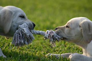 puppies playing tug of war