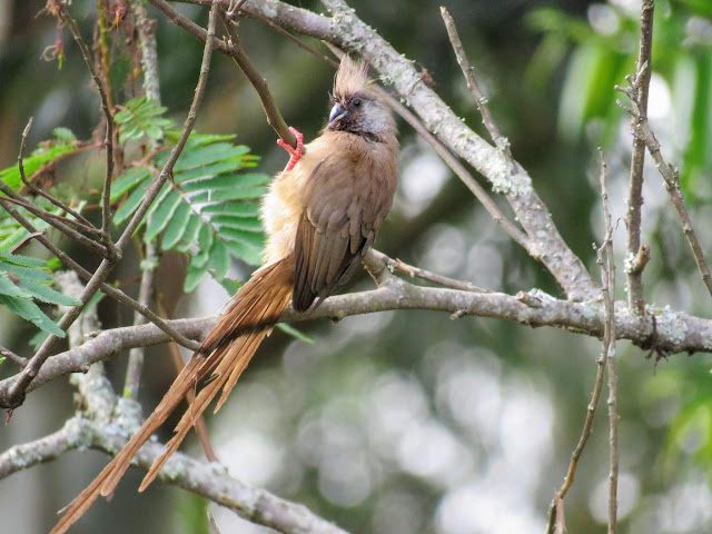 Speckled Mousebird on Uganda's Lake Bunyonyi