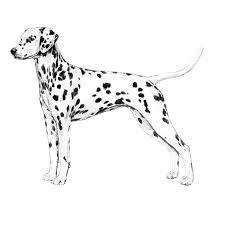 Anjing Ras Dalmatian