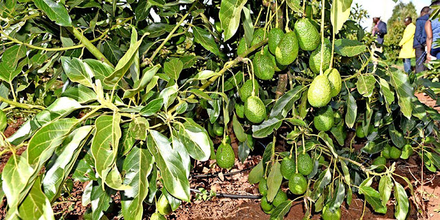 hass avocado tree with fruits
