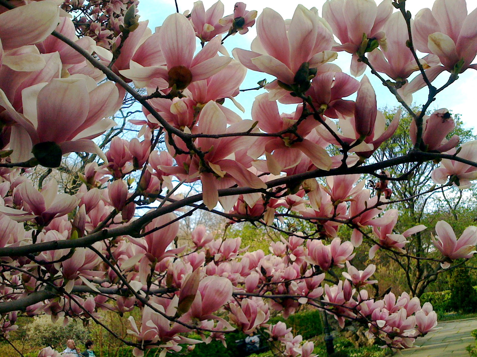 Magnolia  Sweet Smelling Spring Flowers On A Tree