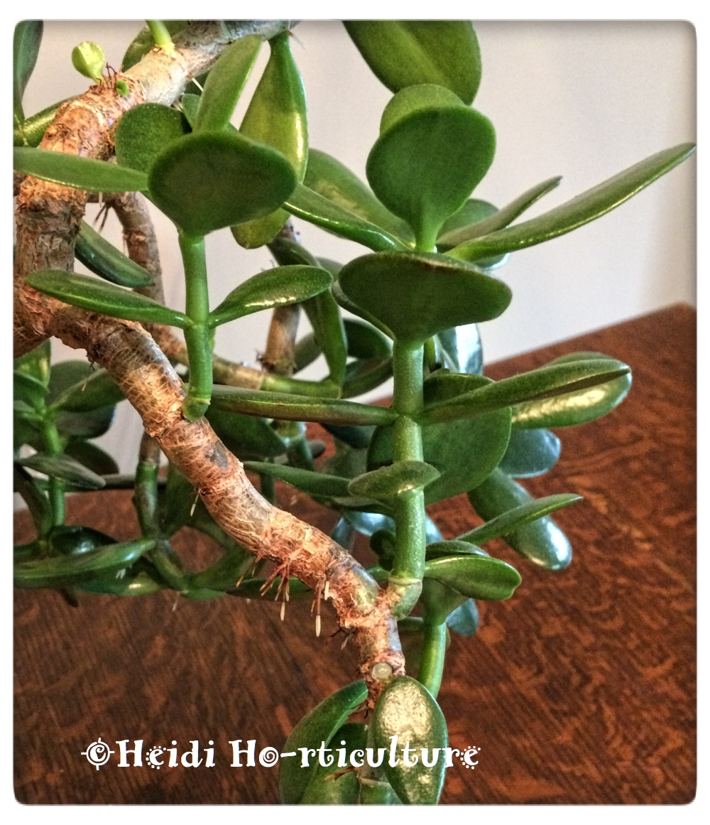 Discussion on this topic: How to Grow a Jade Plant, how-to-grow-a-jade-plant/
