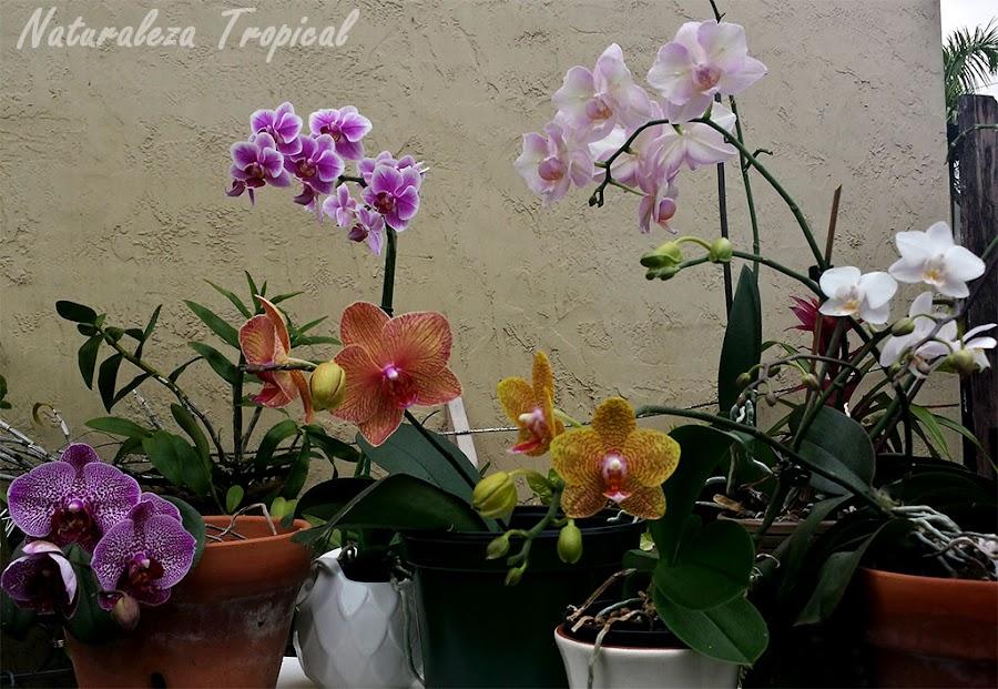 Colección de orquídeas del género Phalaenopsis