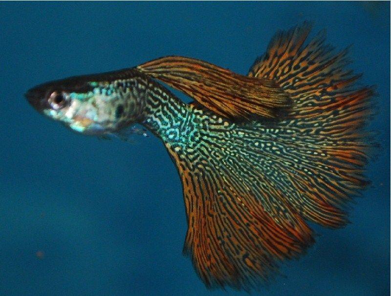 Harga Ikan Guppy Termahal