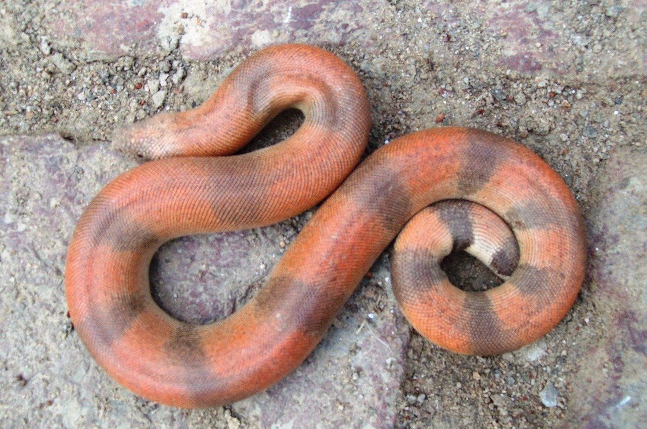रेड सेंड बोआ सांप - Red Snad Boa Snake