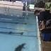 Vídeo: Jacaré é encontrado dentro de piscina  em clube da Constantino Nery