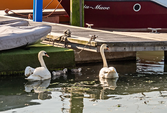 Photo of swans and their cygnets in Maryport Marina