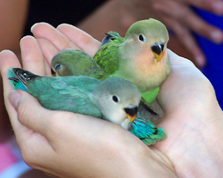 ng menjadi salah satu primadona bagi bara kicaumania d Kabar Terbaru- TEKNIK MELATIH LOVE BIRD DARI KECIL