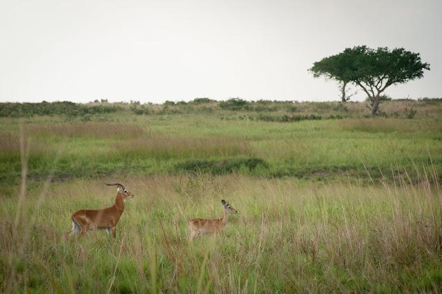 Ugandan kobs; Murchison Falls NP, Uganda