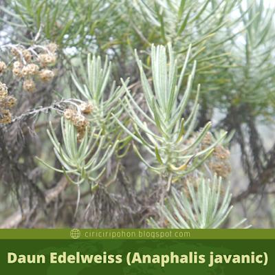 Ciri Ciri Daun Edelweiss (Anaphalis javanic)