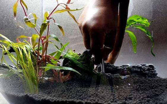 Planting Filigree Milfoil
