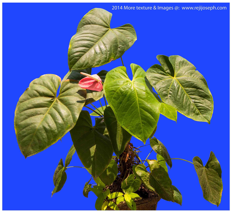 Anthurium garden plant 00002