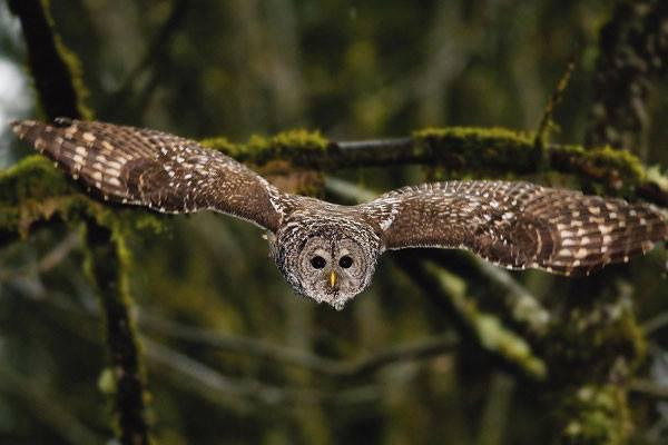 Cú vọ sọc (Barred Owl)