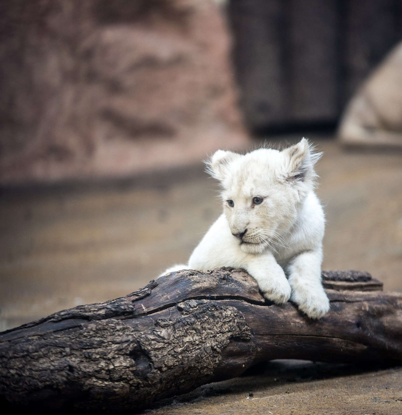 Lion White Lion Big Cat Mane Eyes Nature,lion images