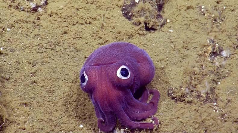 Un calamar púrpura con cómicos ojos gigantes saltones detectado en el suelo marino