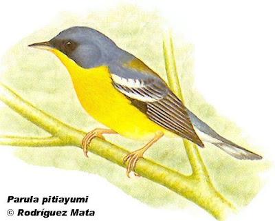 Pitiayumí Setophaga pitayumi