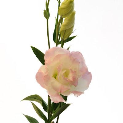 Bi Color Pink White Lisianthus