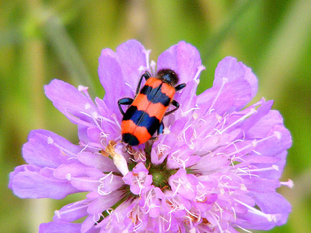 Trichodes apiarius on Field Scabious Knautia arvensis. Indre et Loire. France. Photo by Loire Valley Time Travel.