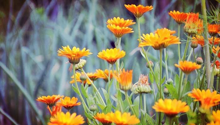 Calendulas para jardines