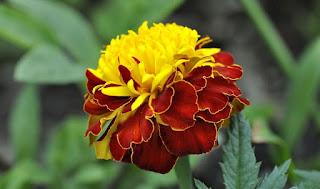 bunga anyelir kuning