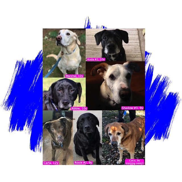 Labrador Retriever Adoption