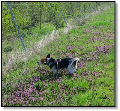 der Beagle in den Blumen