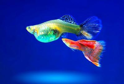Ikan guppy,ikan hias air tawar