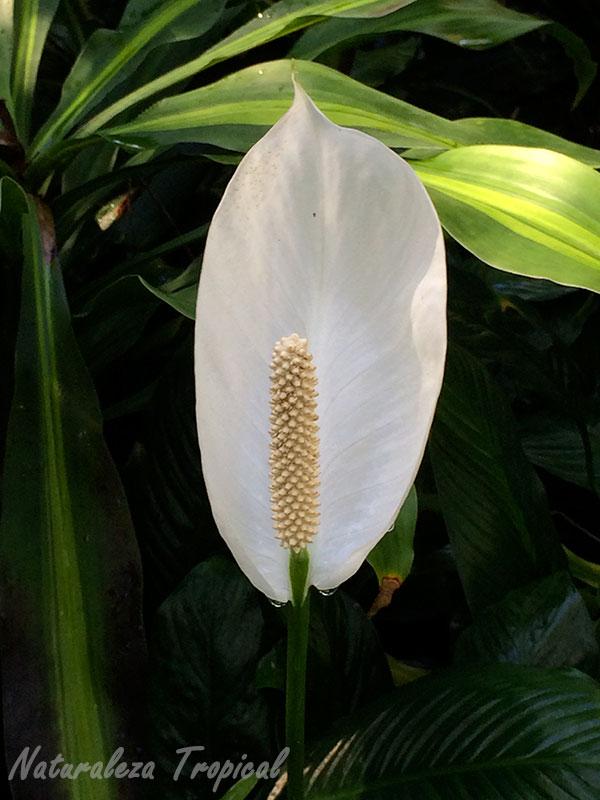 Floración en espádice de un espatifilo, género Spathiphyllum. Planta purificadora.