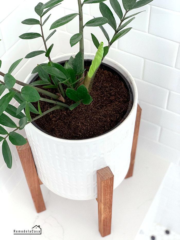 ZZ plant new growth