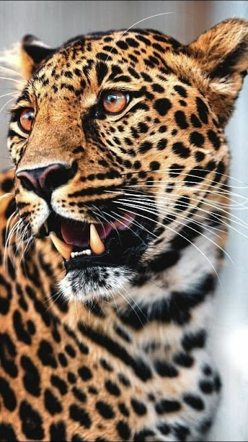 felino, animale selvatico