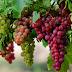 Karakteristik Morfologi dan Klasifikasi Tanaman Buah Anggur (Vitis vinifera L)