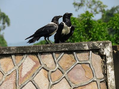 Uganda Birds: Pied Crow
