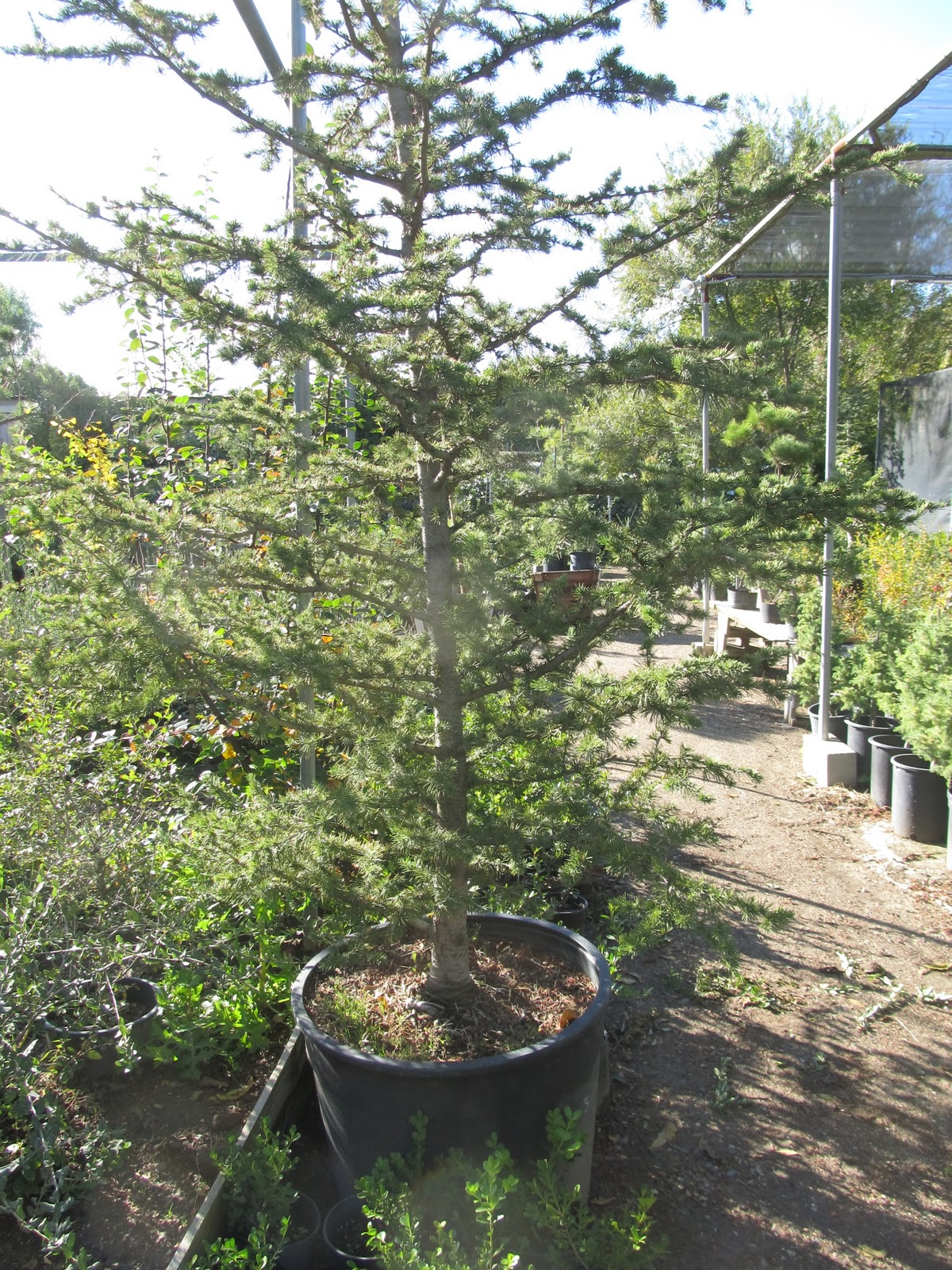 Some Of What I Saw In Bonsai So To That End Went Searching Through The Nursery Here Is Found It S A 16 Tall Atlas Cedar 24 Tub