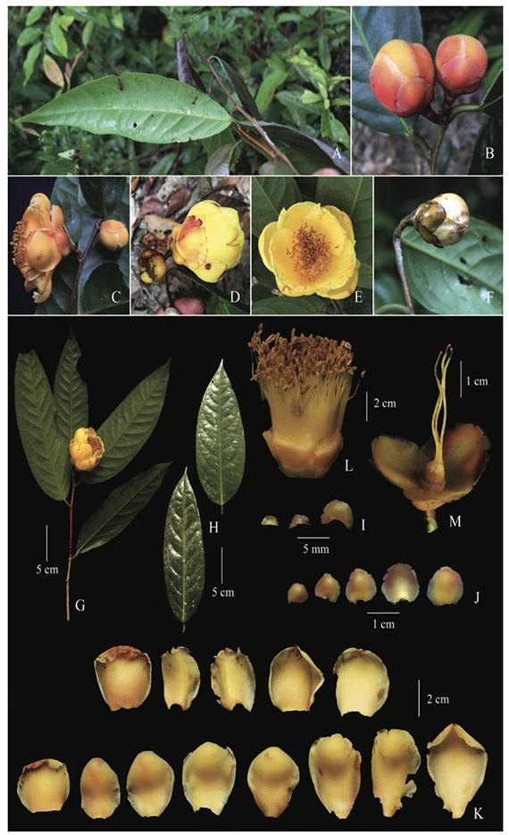 Camellia puhoatensis