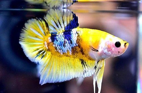 Ikan Cupang Fancy Koi Kuning - Ikanhiasku.net