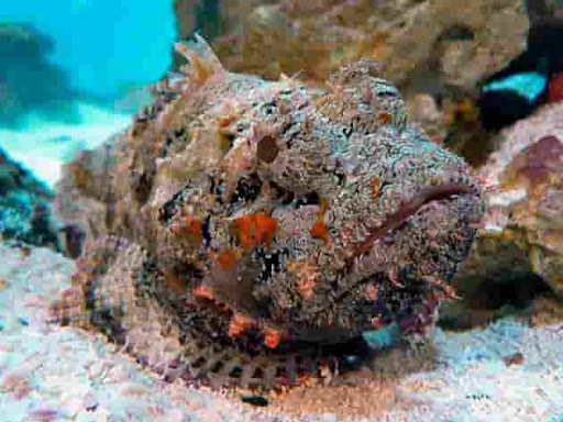 самая ядовитая в мире морская рыба