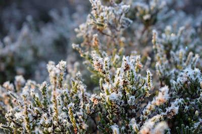 Frostnupen ljung