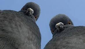 Pombos - pragas urbanas