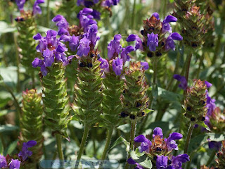 Brunelle à grandes fleurs - Prunella grandiflora