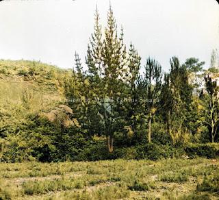 proses reboisasi pohon pinus