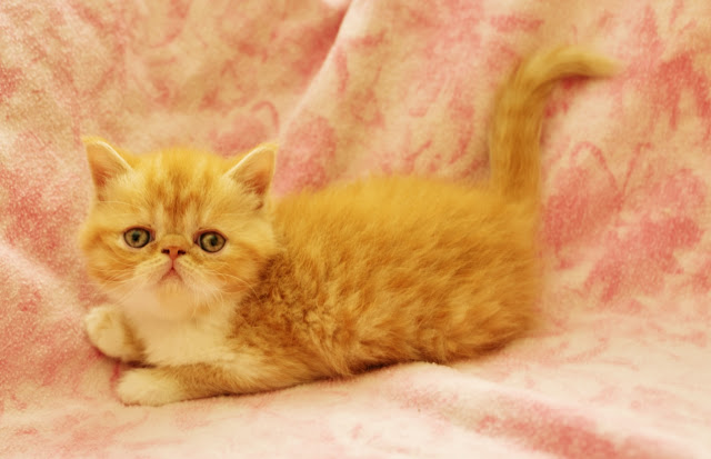 Exotic Shorthairs and Persians in Idaho Kittens on their way!