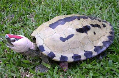 Kura-kura Tuntung Laut